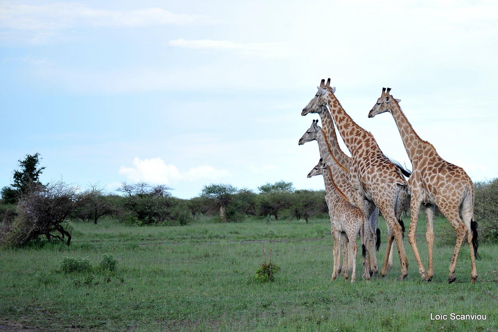 Girafe du Sud/Southern Giraffe (2)