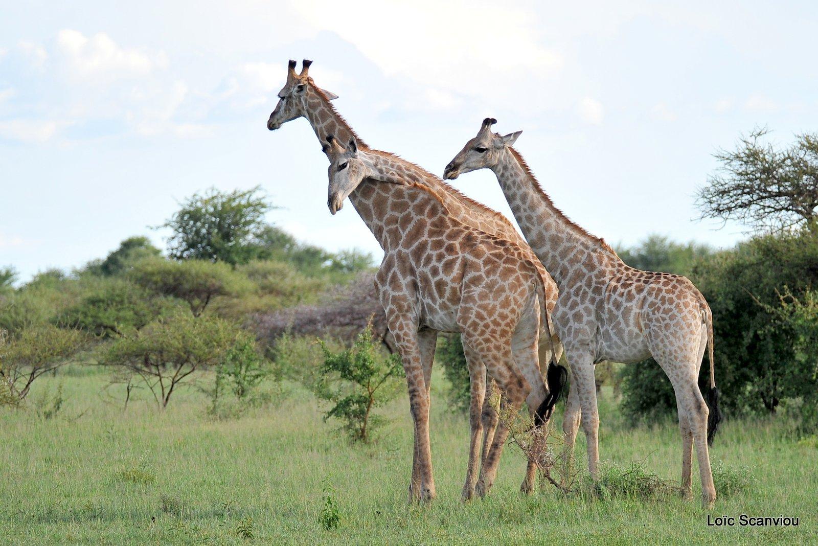 Girafe du Sud/Southern Giraffe (3)