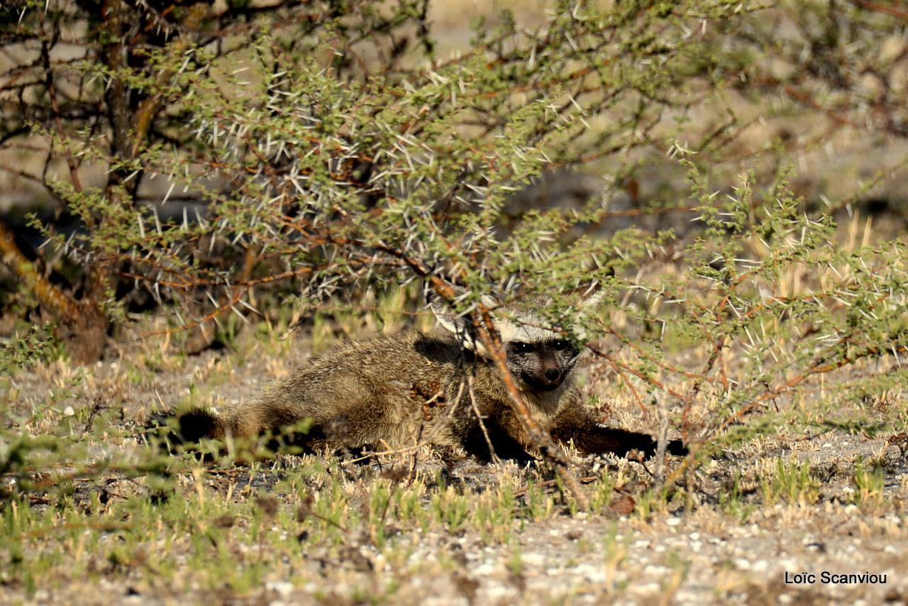 Otocyon/Bat-eared Fox (2)
