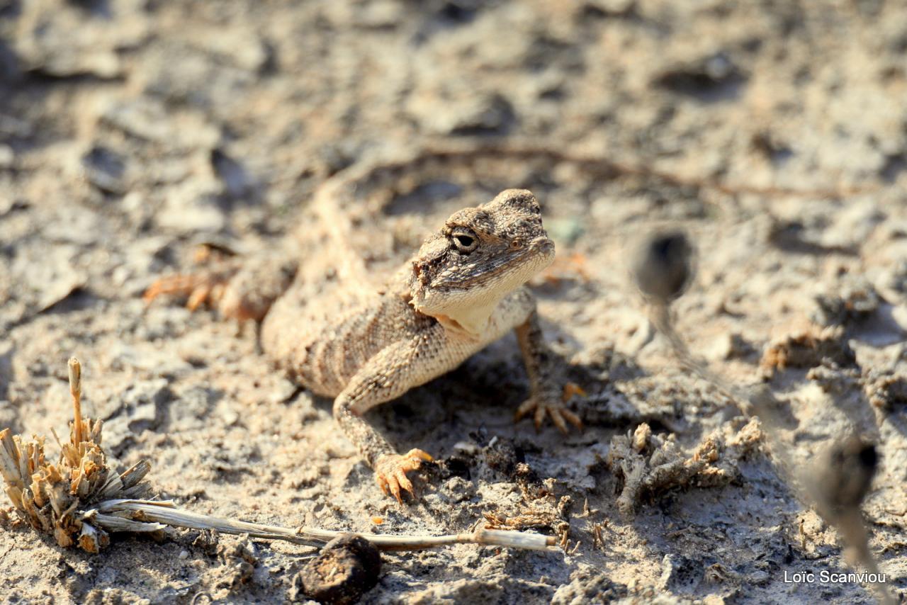 Agame/Agama Lizard (1)
