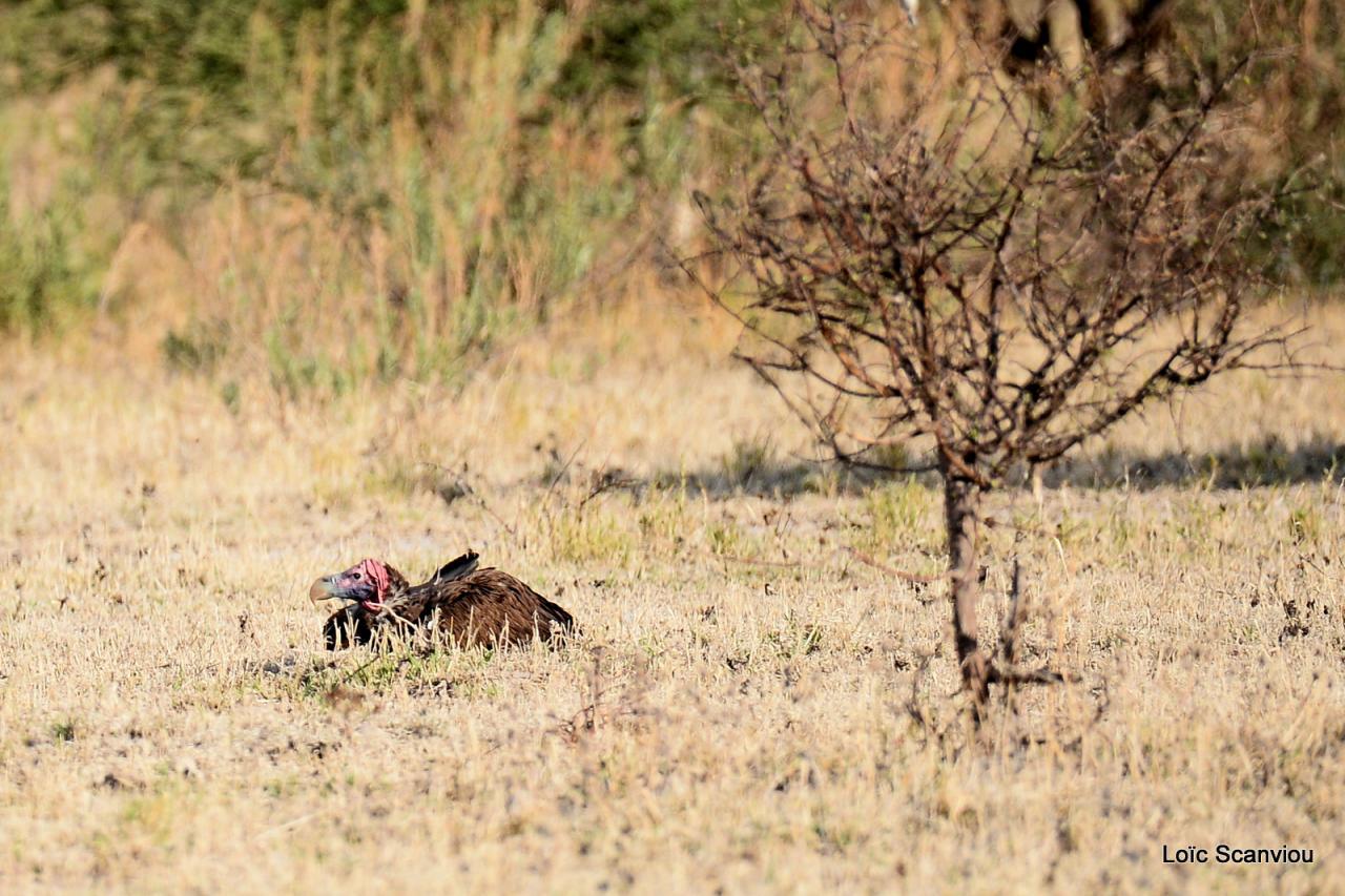 Vautour oricou/Lappet-faced Vulture (1)