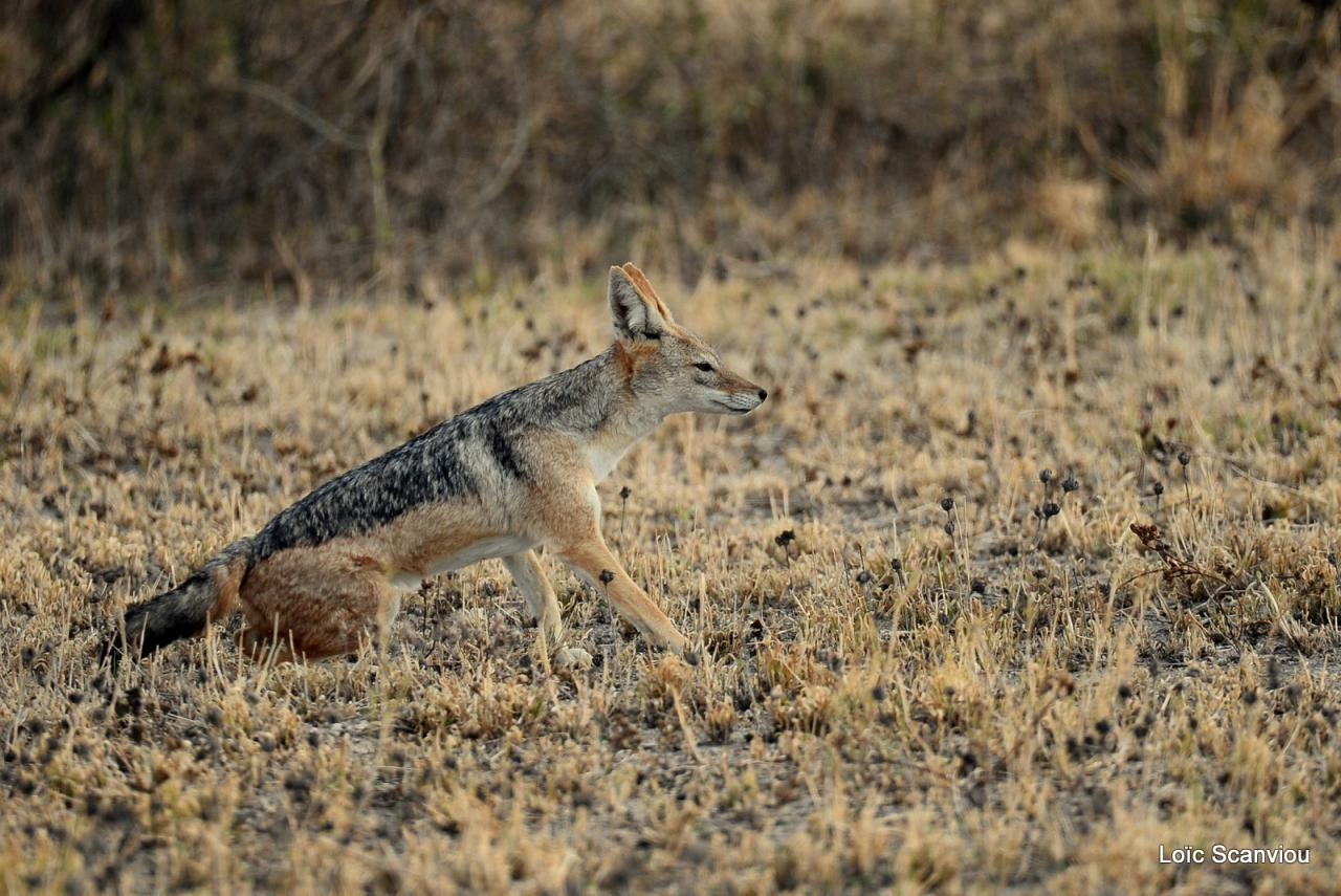 Chacal à chabraque/Black-backed Jackal (3)