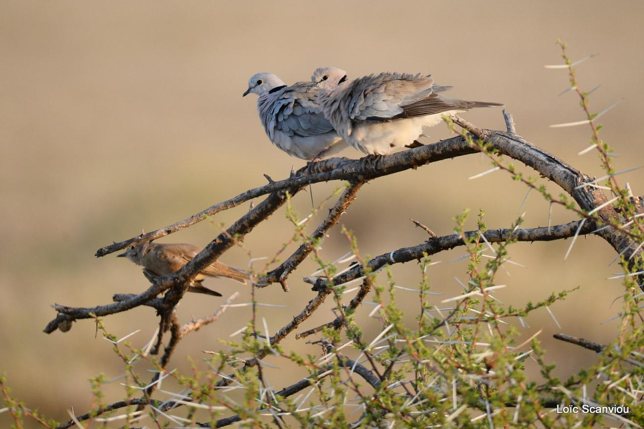 Tourterelle pleureuse/African Mourning Dove (1)