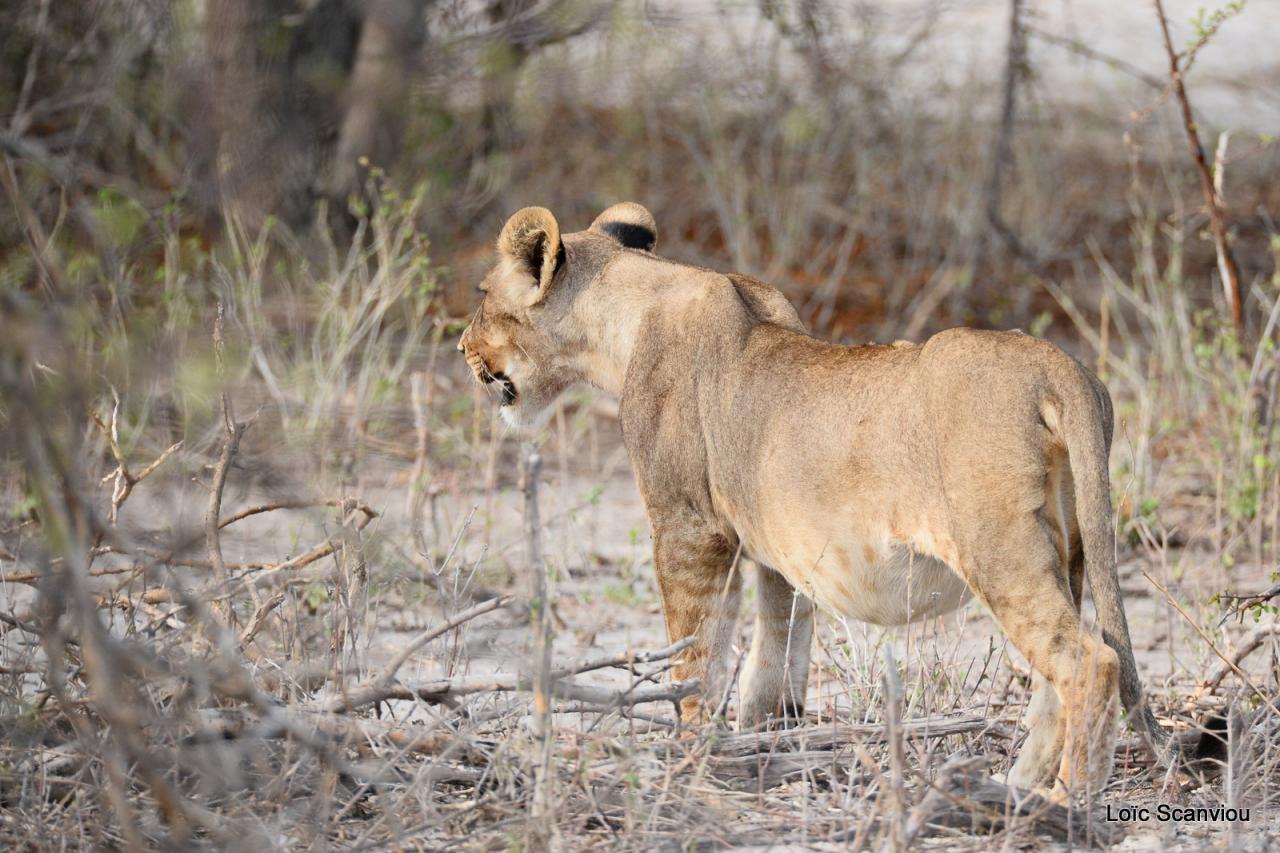 Lion (7)