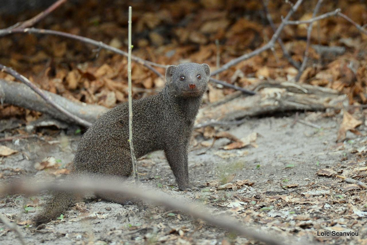 Mangouste/Mongoose (1)
