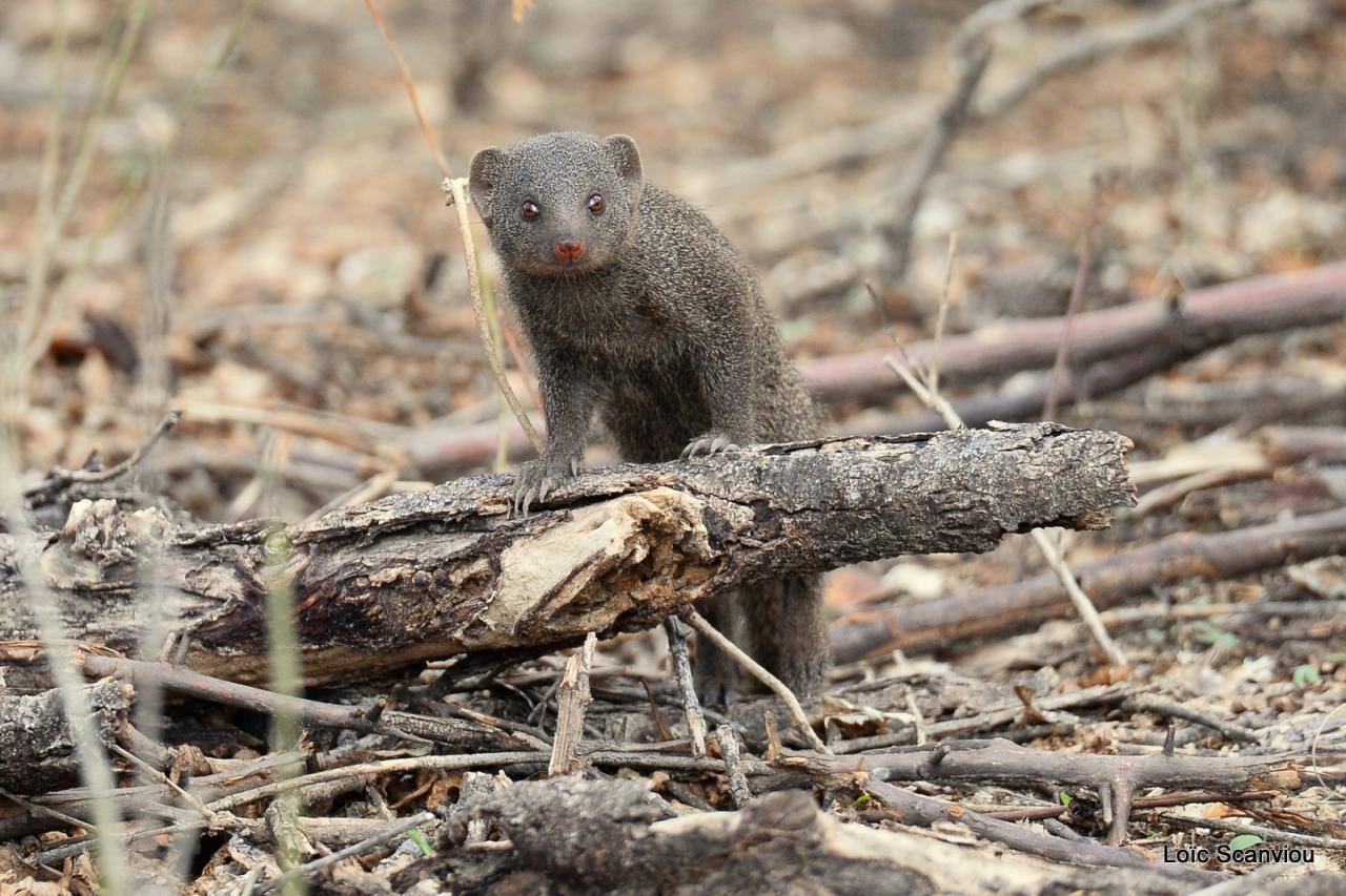 Mangouste/Mongoose (2)