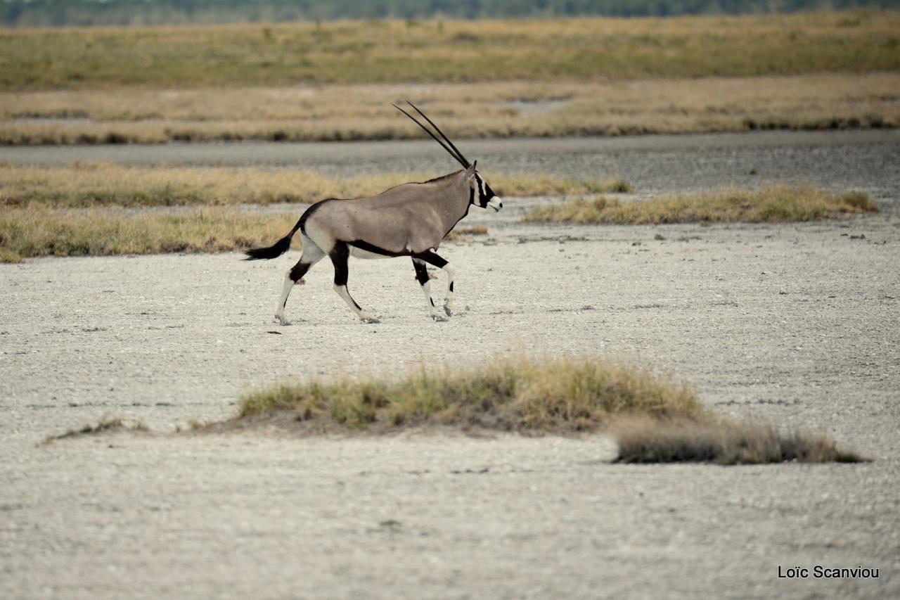 Oryx gazelle/Gemsbok (3)