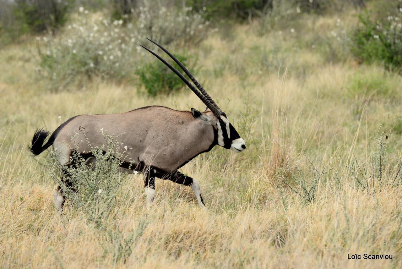 Oryx gazelle/Gemsbok (5)