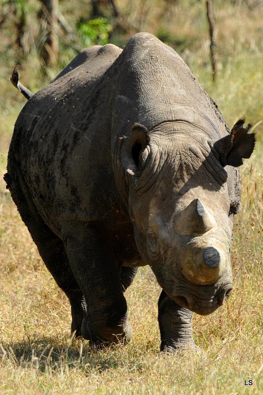Rhinocéros noir/Black Rhino (5)