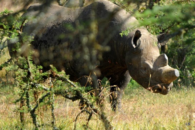 Rhinocéros noir/Black Rhino (2)
