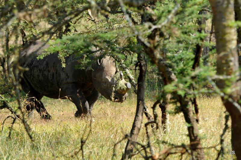Rhinocéros noir/Black Rhino (3)