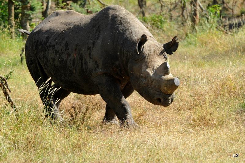 Rhinocéros noir/Black Rhino (4)