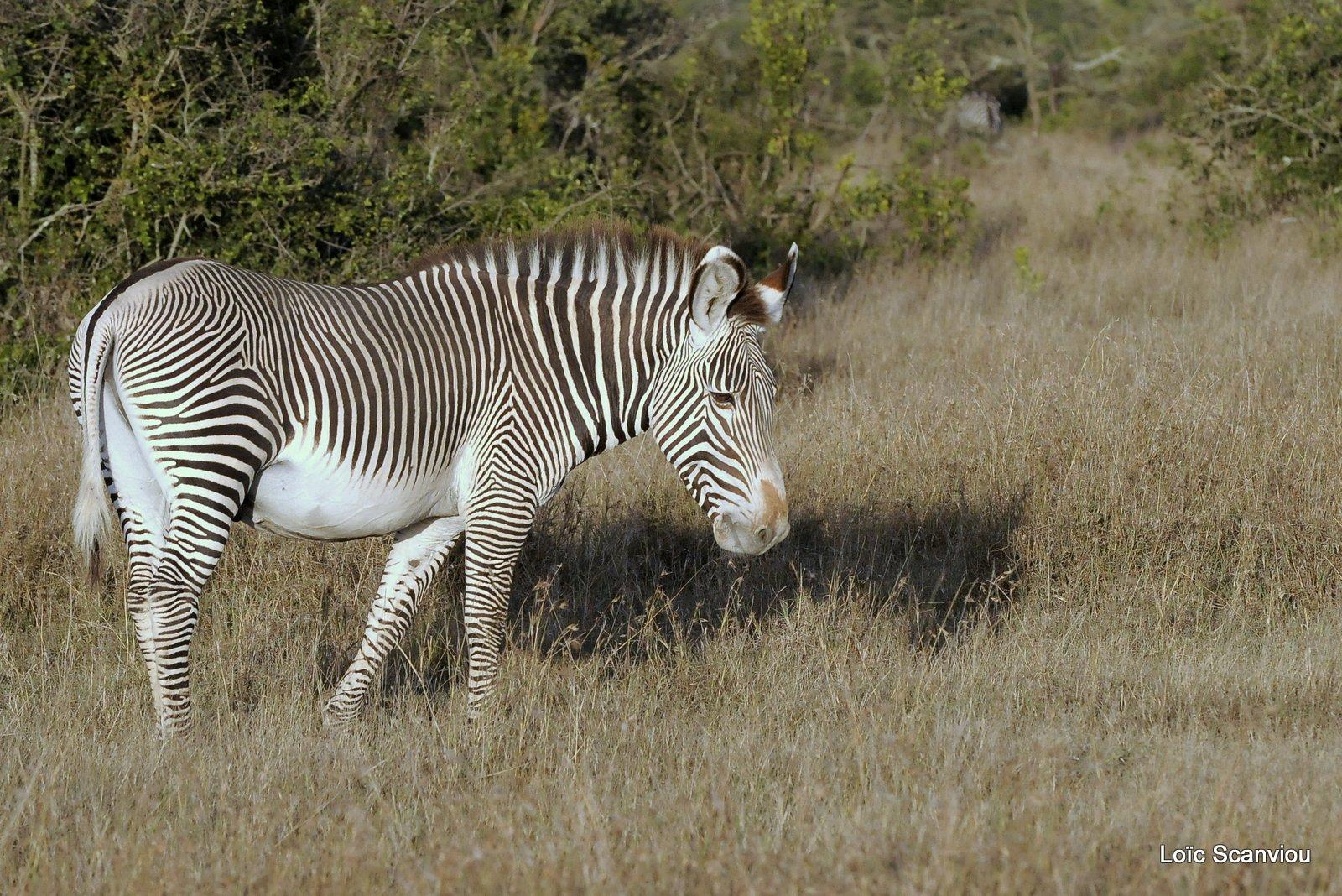 Zèbre de Grévy/Grevy's Zebra (1)
