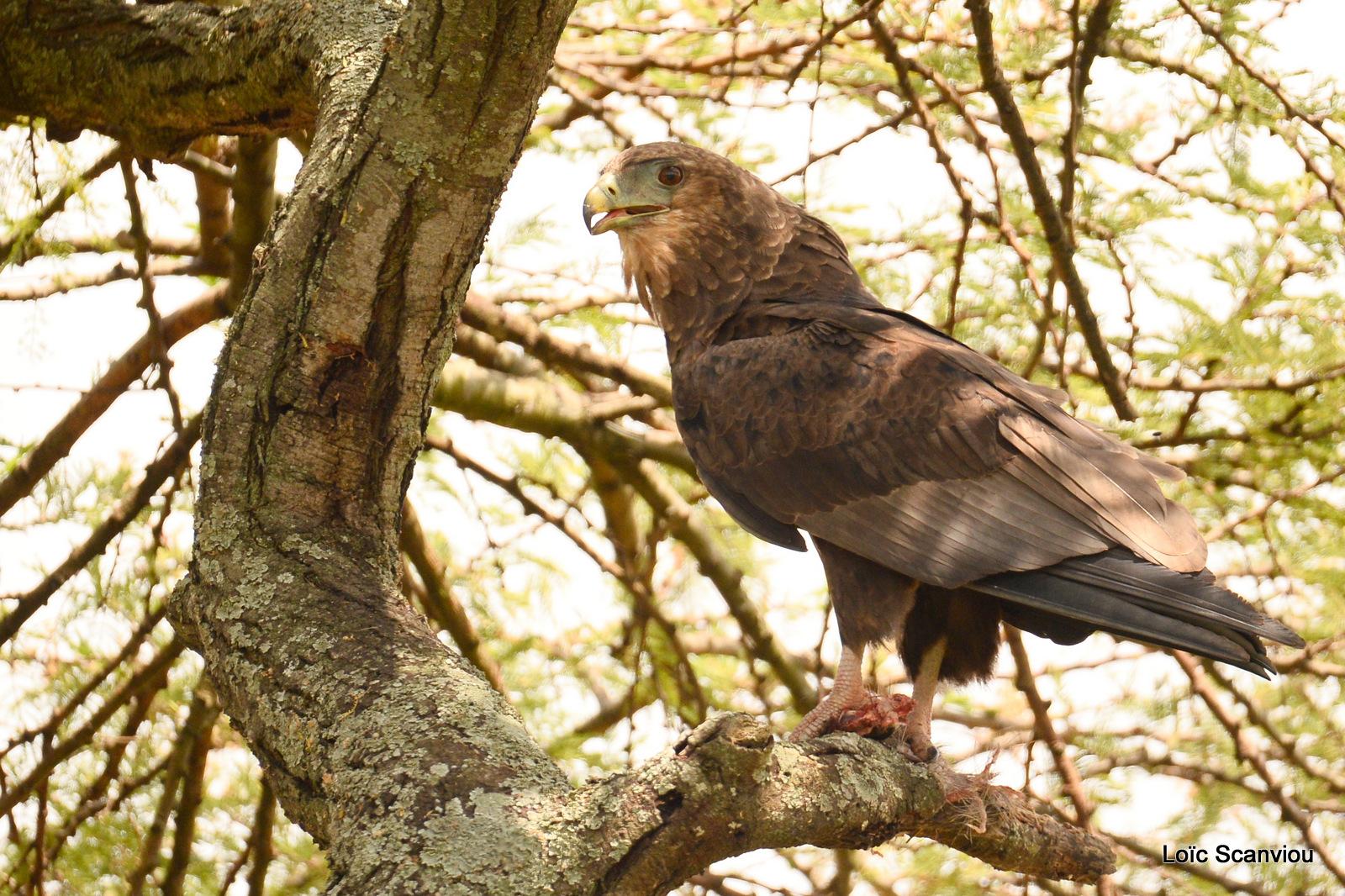 Aigle bateleur juvénile/Juvenile Bateleur Eagle (1)