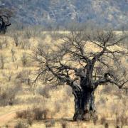 Baobab/Baobab Tree (1)
