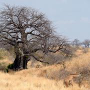 Baobab/Baobab Tree (2)
