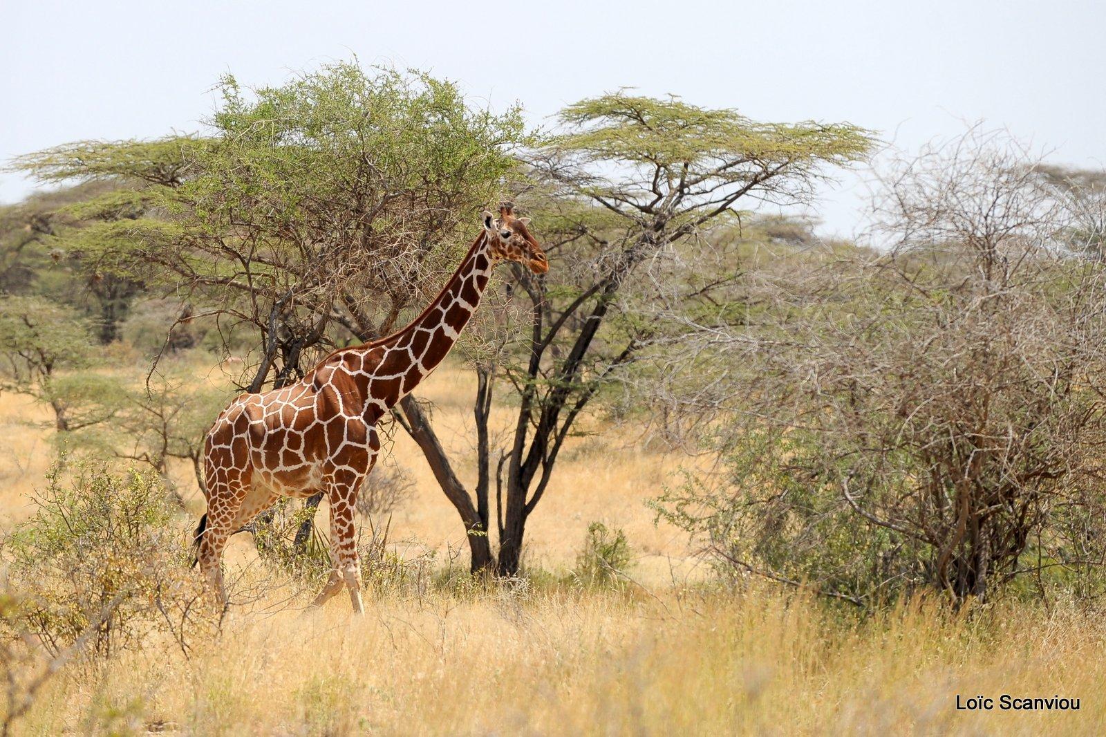 Girafe réticulée/Reticulated Giraffe (1)