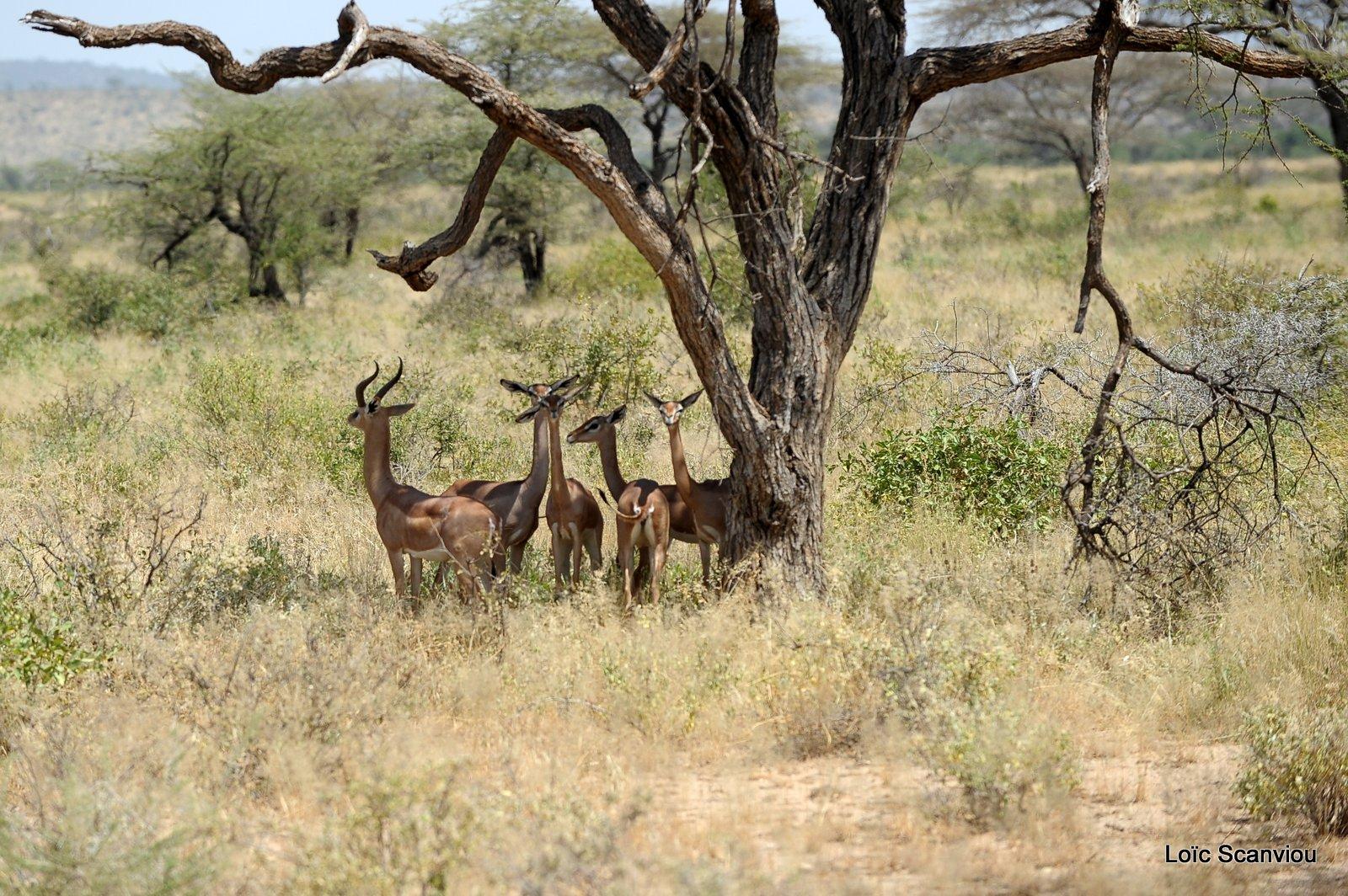 Gazelle de Waller/Gerenuk (4)