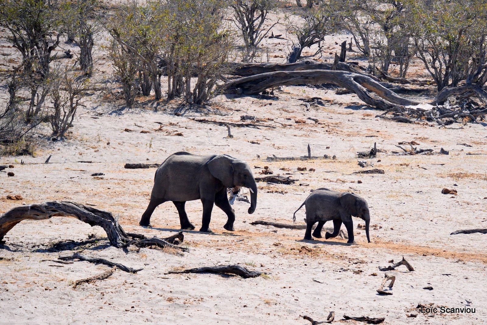Eléphant d'Afrique/African Elephant (1)