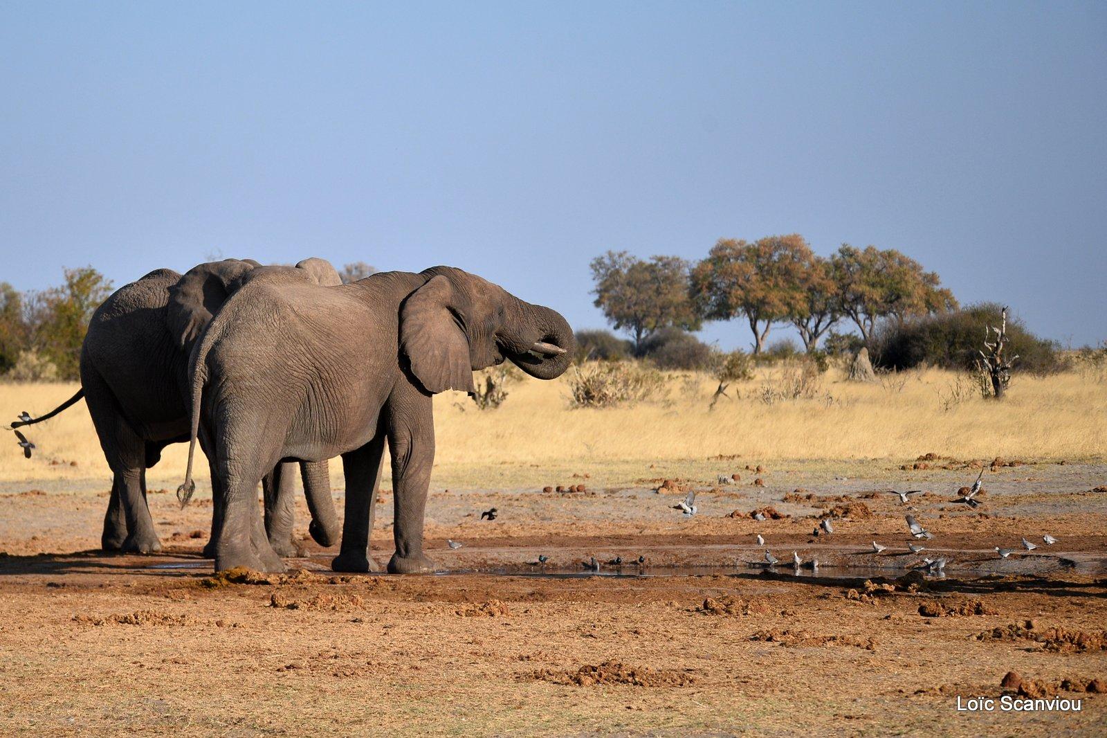 Eléphant d'Afrique/African Elephant (6)