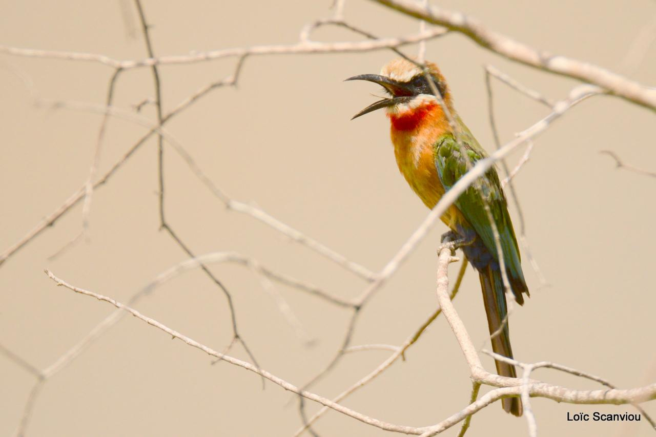 Guêpier à front blanc/White-fronted Bee-eater (6)
