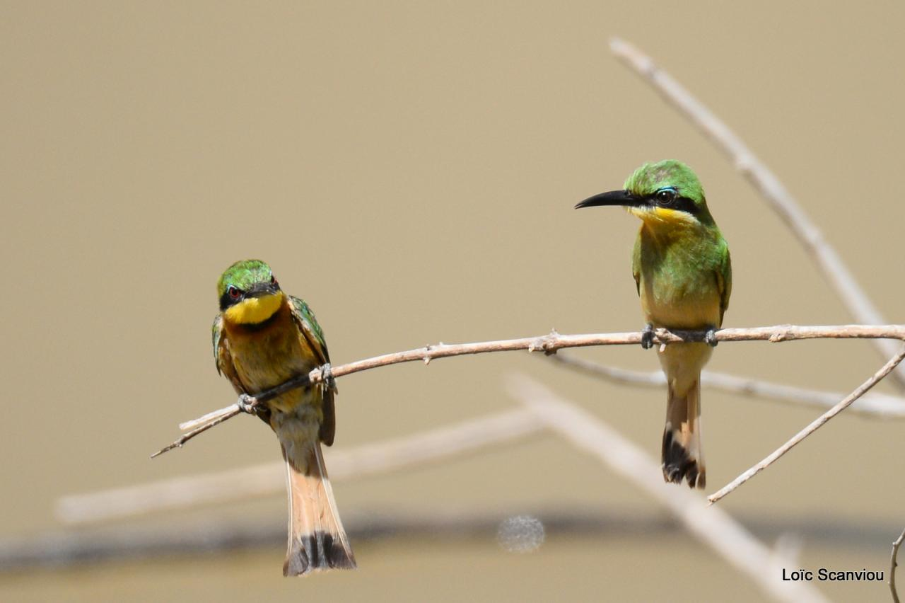 Guêpier nain/Little Bee-eater (3)