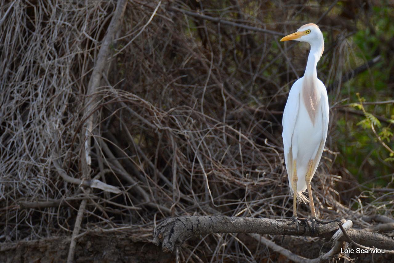 Héron garde-boeufs/Cattle Egret (1)