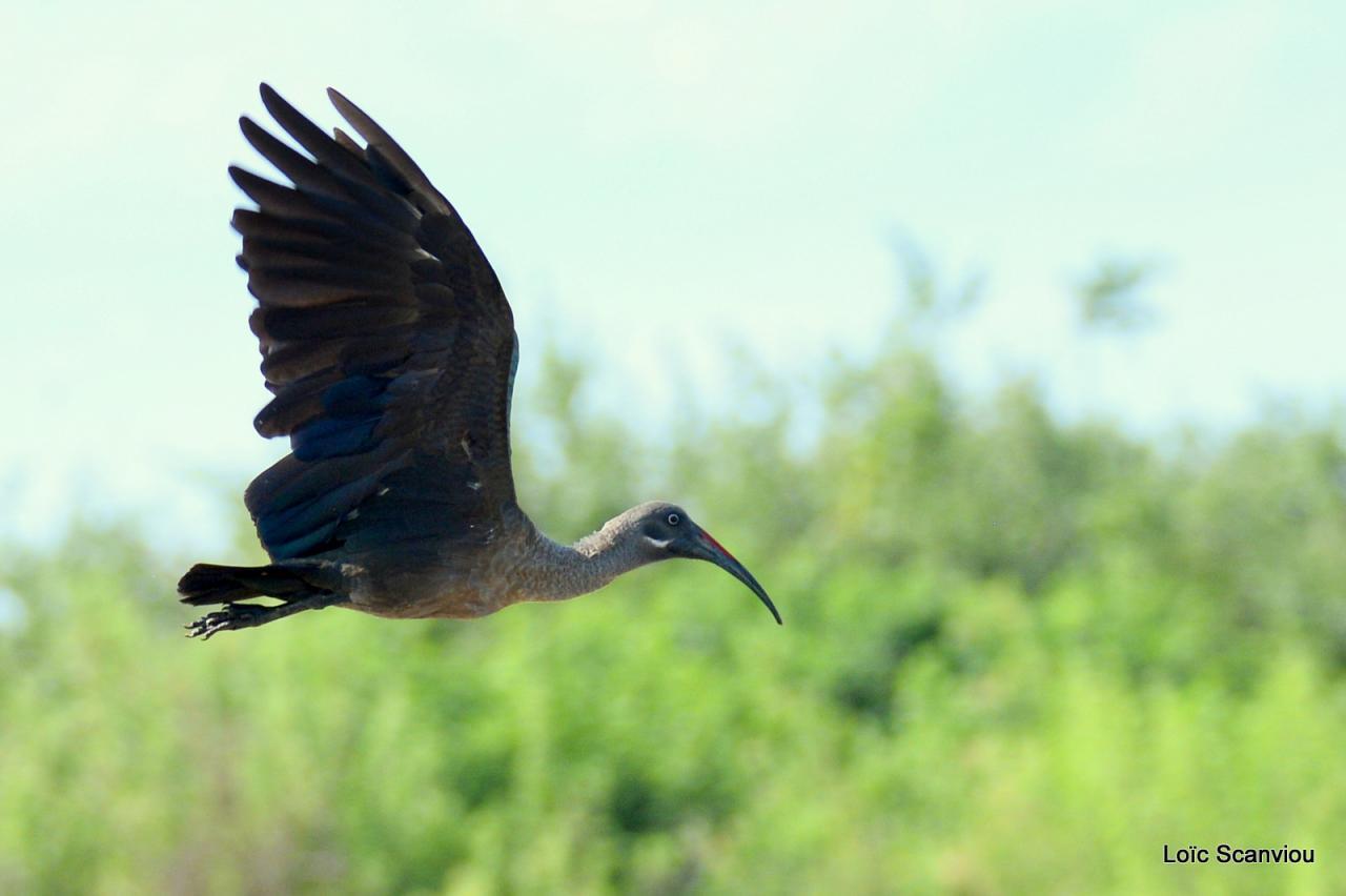 Ibis hagedash/Hadeda Ibis (1)