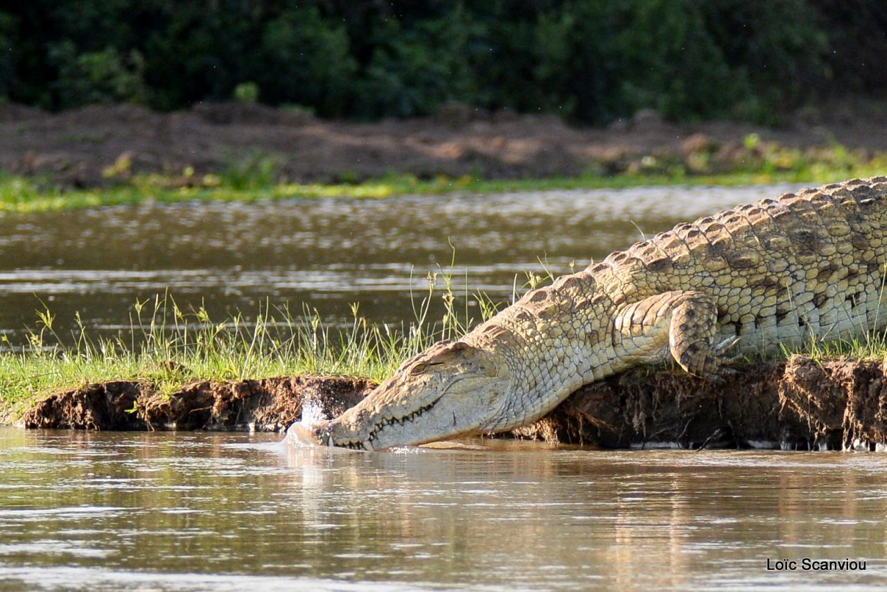 Crocodile du Nil/Nile Crocodile (30)