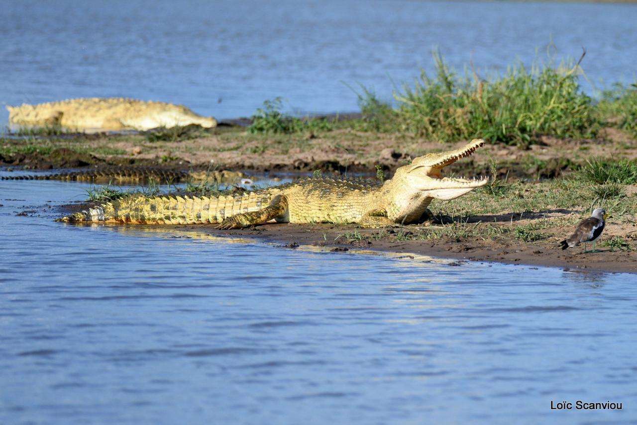 Crocodile du Nil/Nile Crocodile (34)