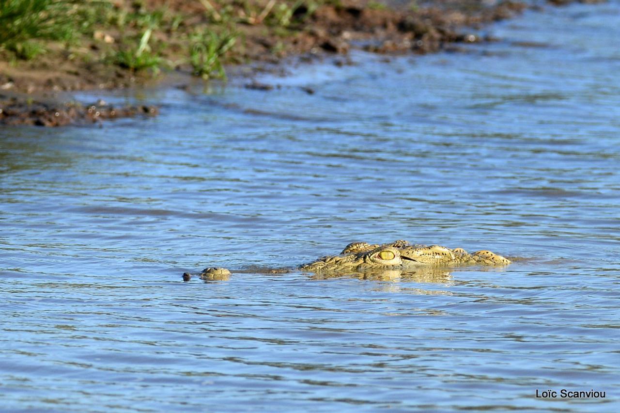Crocodile du Nil/Nile Crocodile (36)