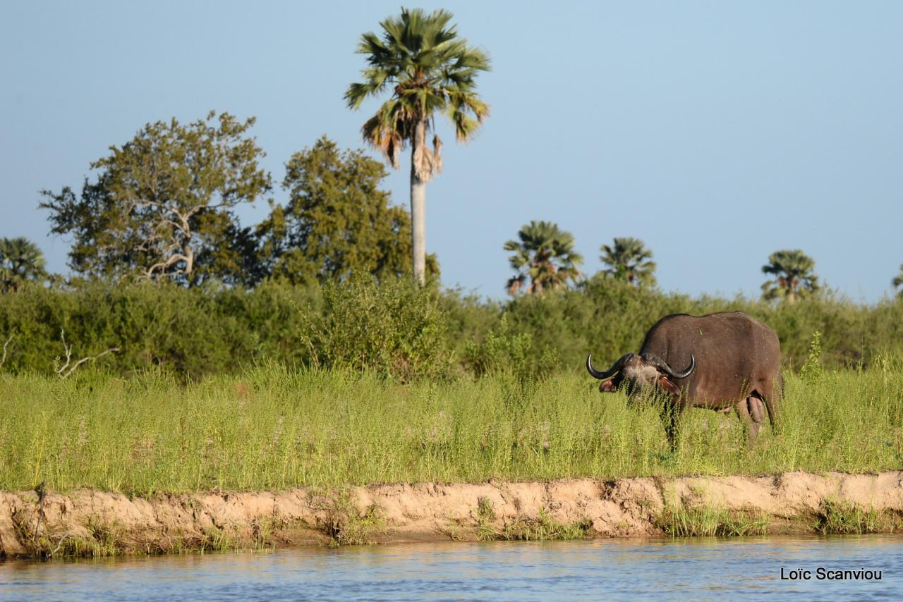 Buffle du Cap/Cape Buffalo (10)