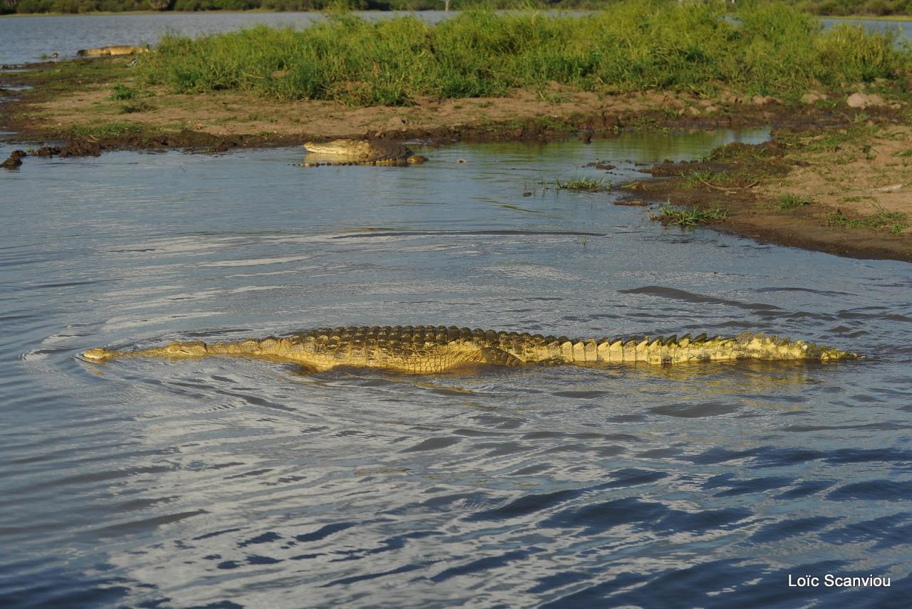 Crocodile du Nil/Nile Crocodile (37)
