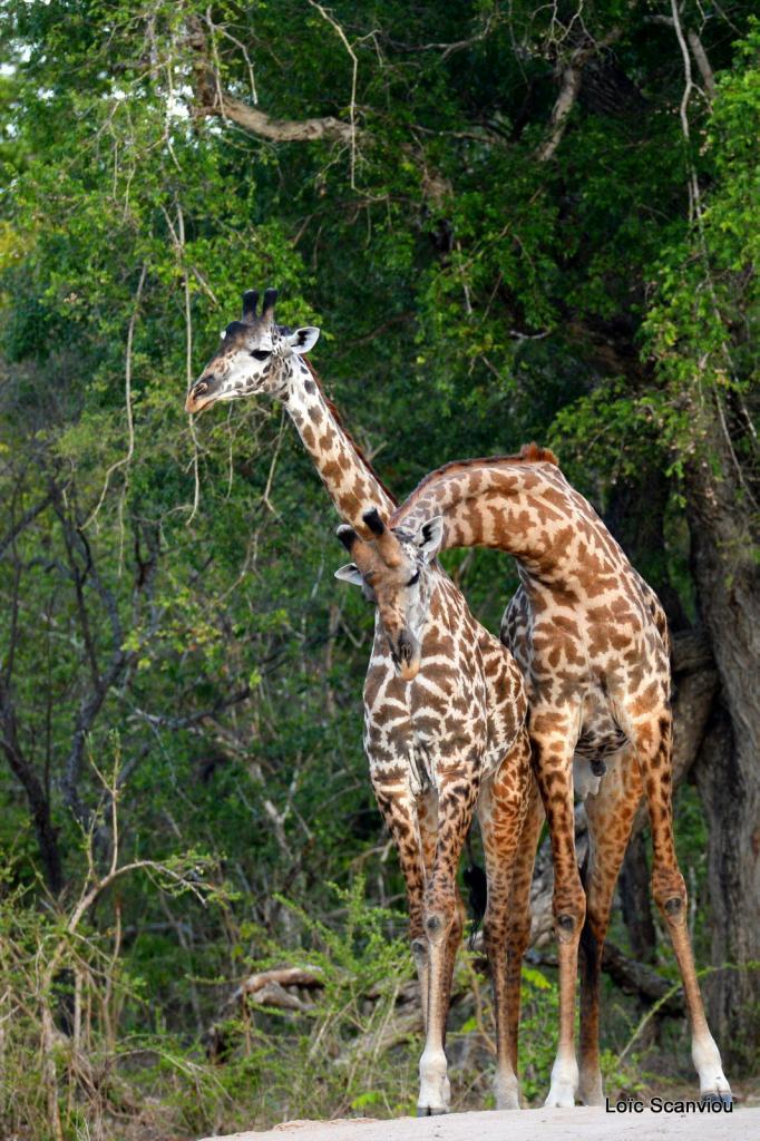 Girafe masaï/Masai Giraffe (23)