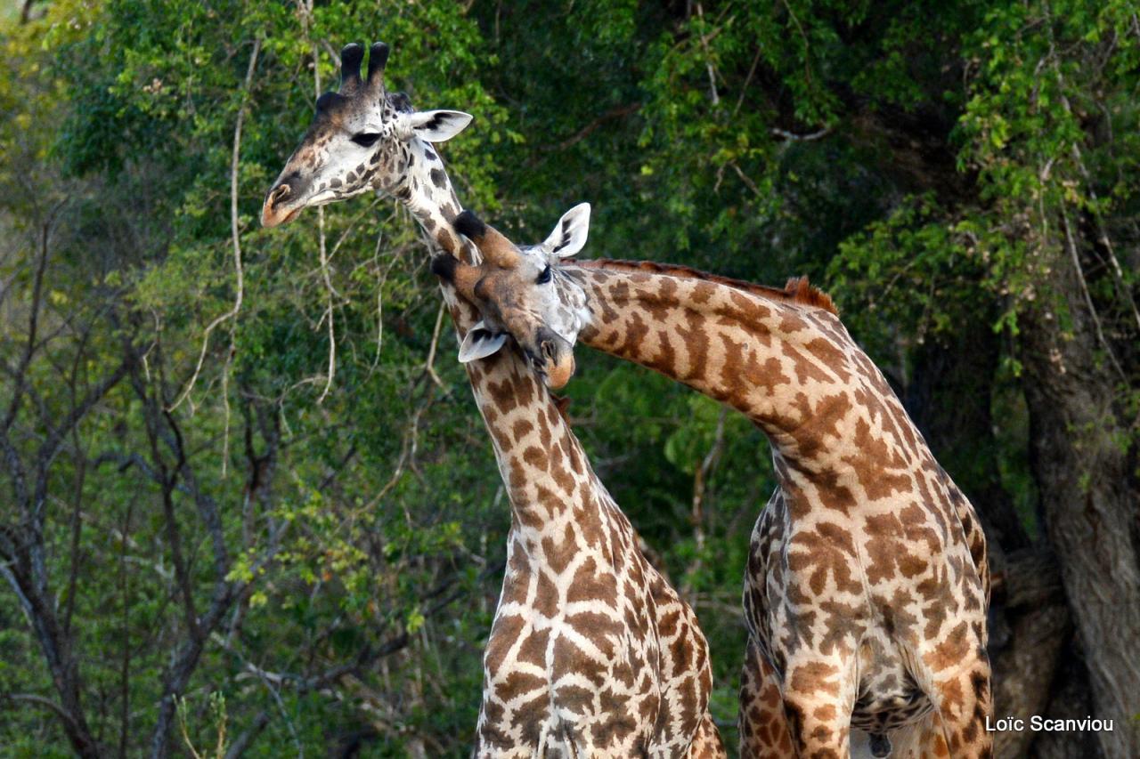 Girafe masaï/Masai Giraffe (24)