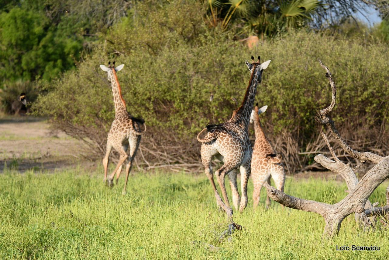 Girafe masaï/Masai Giraffe (25)
