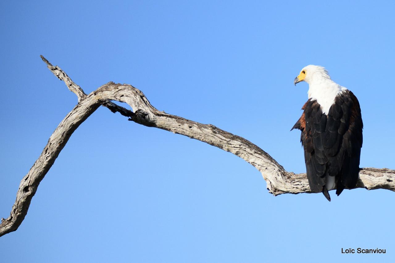 Aigle vocifère/African Fish Eagle (7)