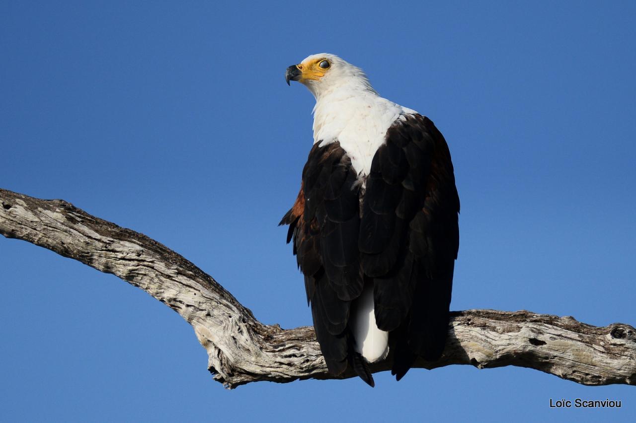Aigle vocifère/African Fish Eagle (8)
