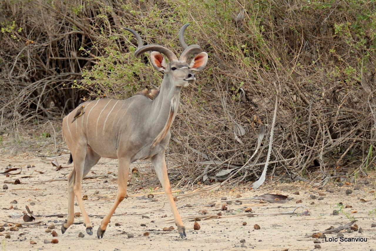 Grand koudou/Greater Kudu (7)