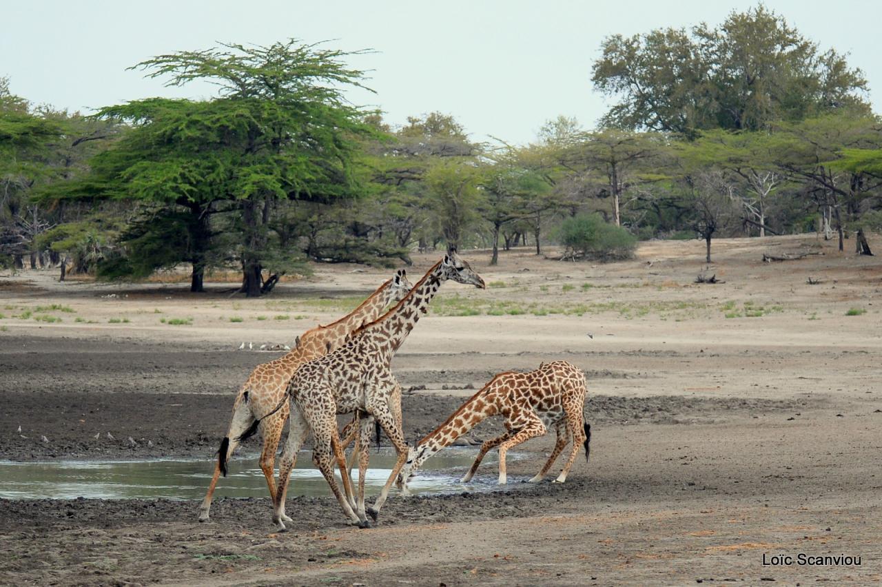 Girafe masaï/Masai Giraffe (26)