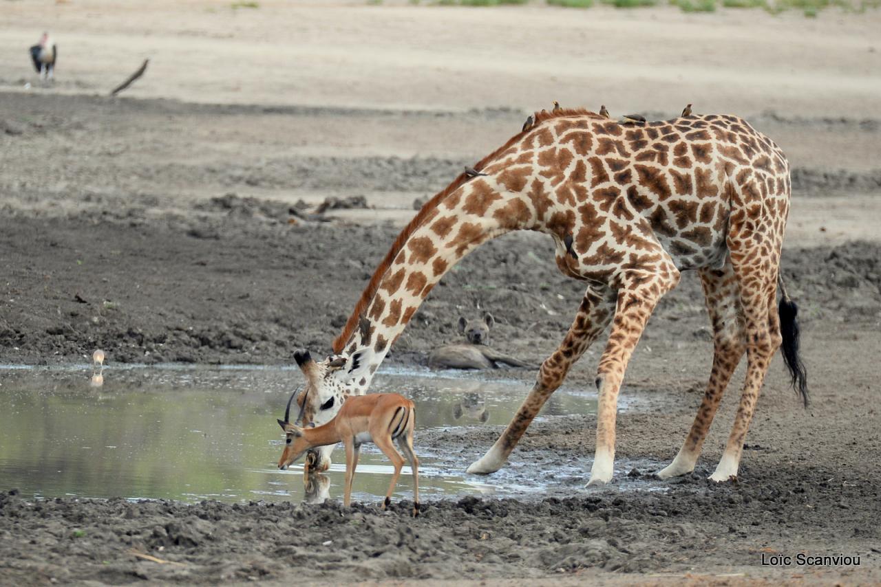 Girafe masaï/Masai Giraffe (28)