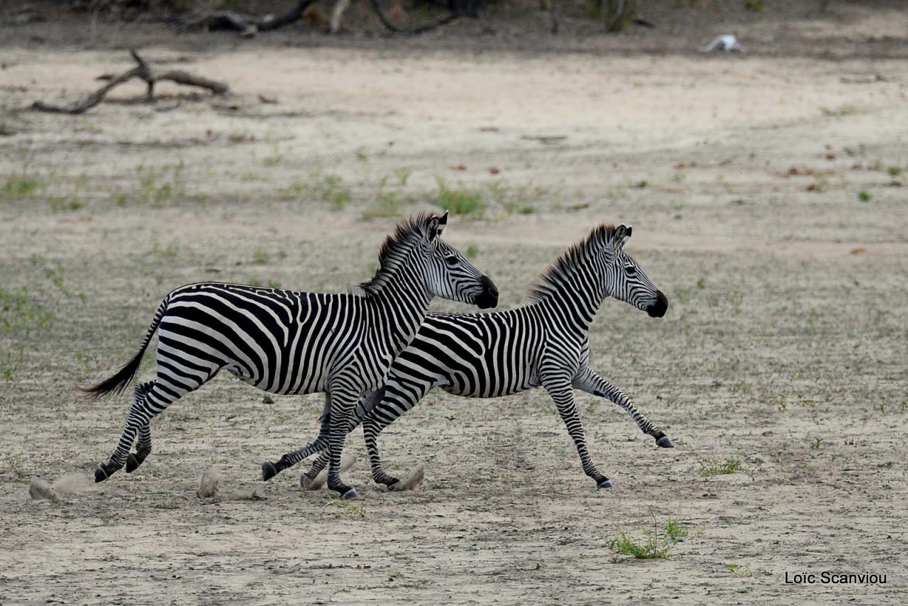 Zèbre de Burchell/Burchell's Zebra (9)