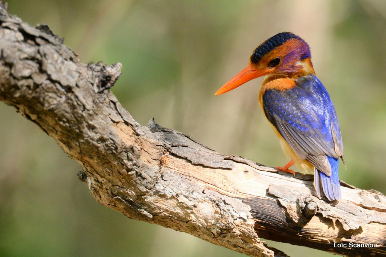 Martin-Pêcheur pygmée/African Pygmy-Kingfisher (3)