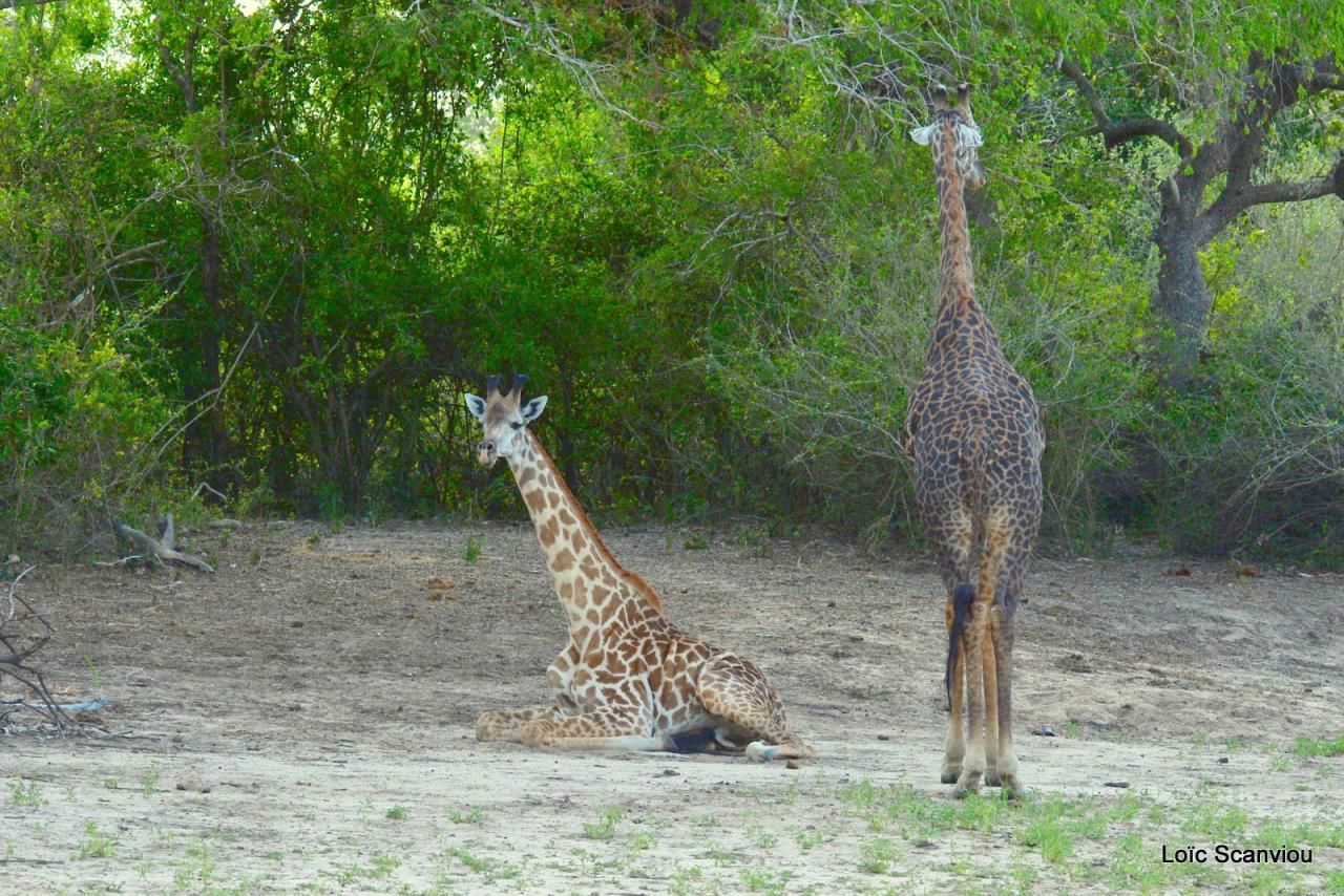 Girafe masaï/Masai Giraffe (30)