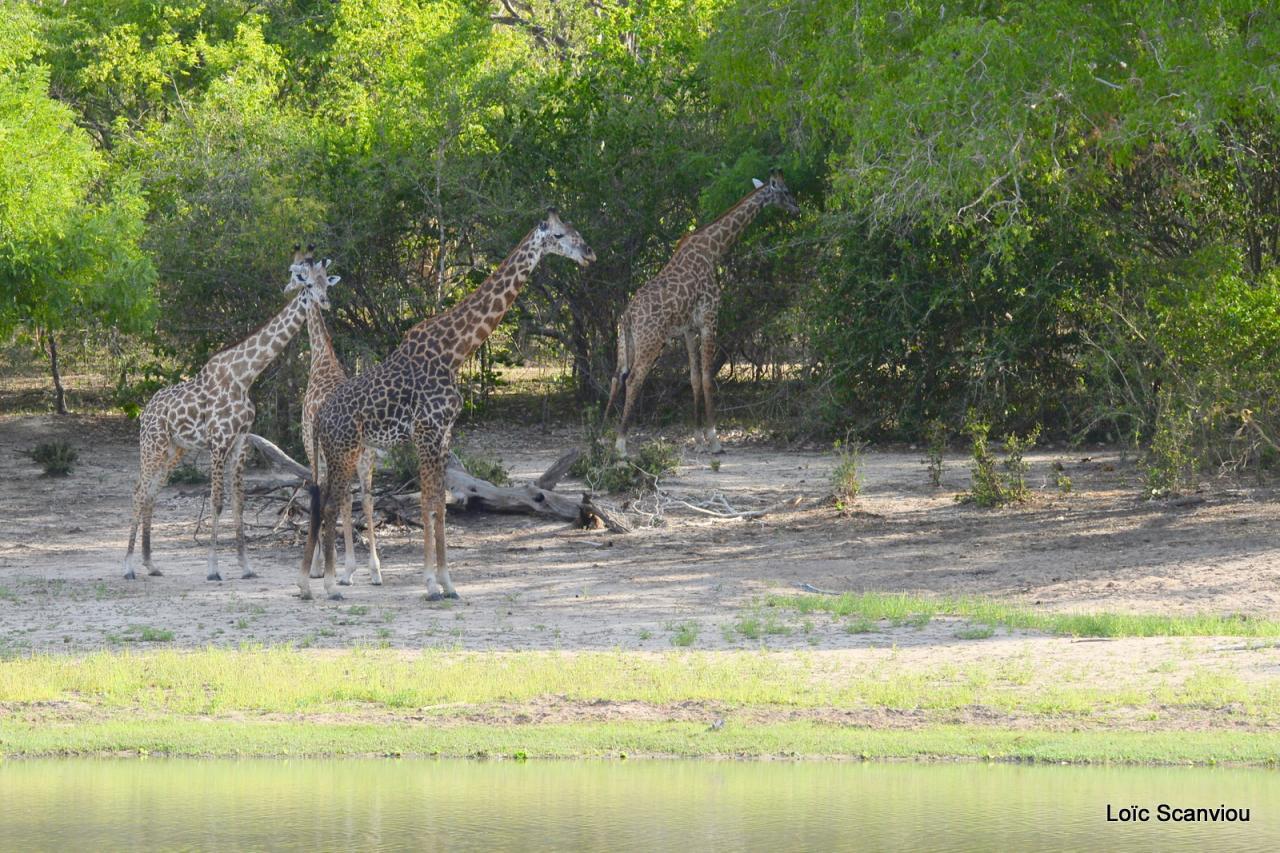 Girafe masaï/Masai Giraffe (32)