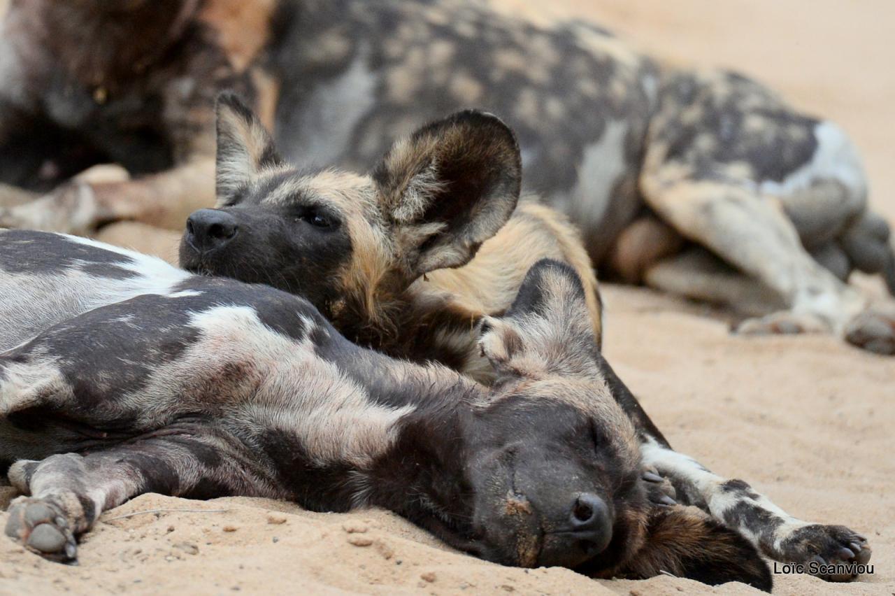 Lycaon/African Wild dog (20)