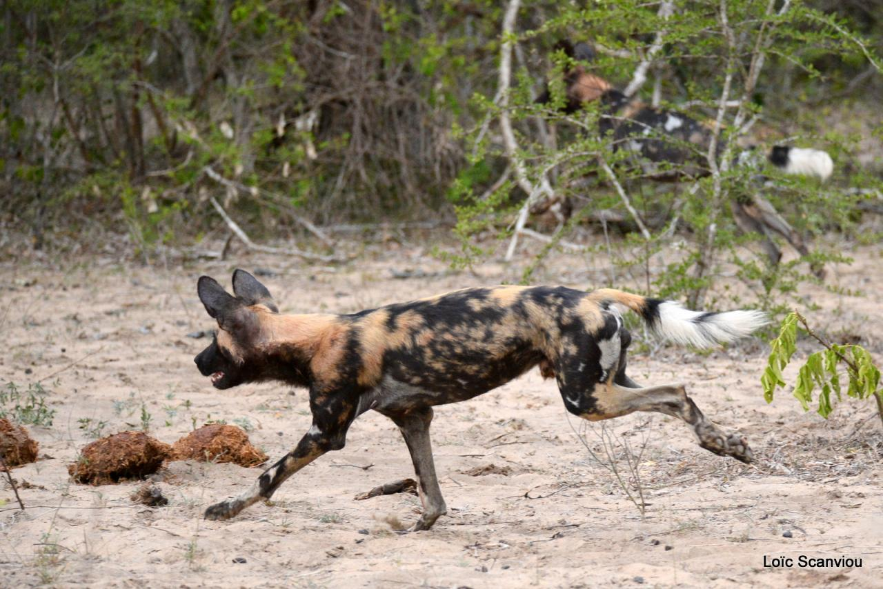 Lycaon/African Wild dog (23)