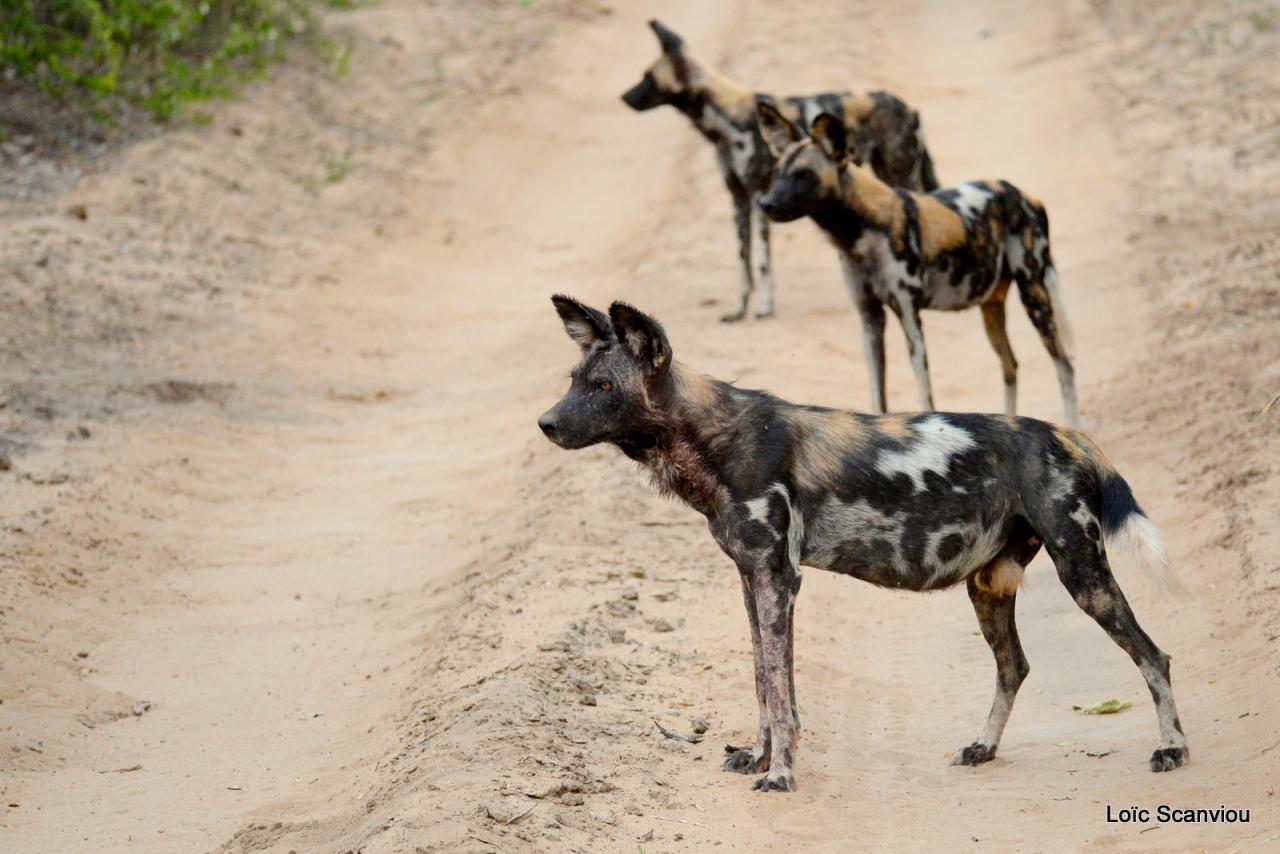 Lycaon/African Wild dog (24)