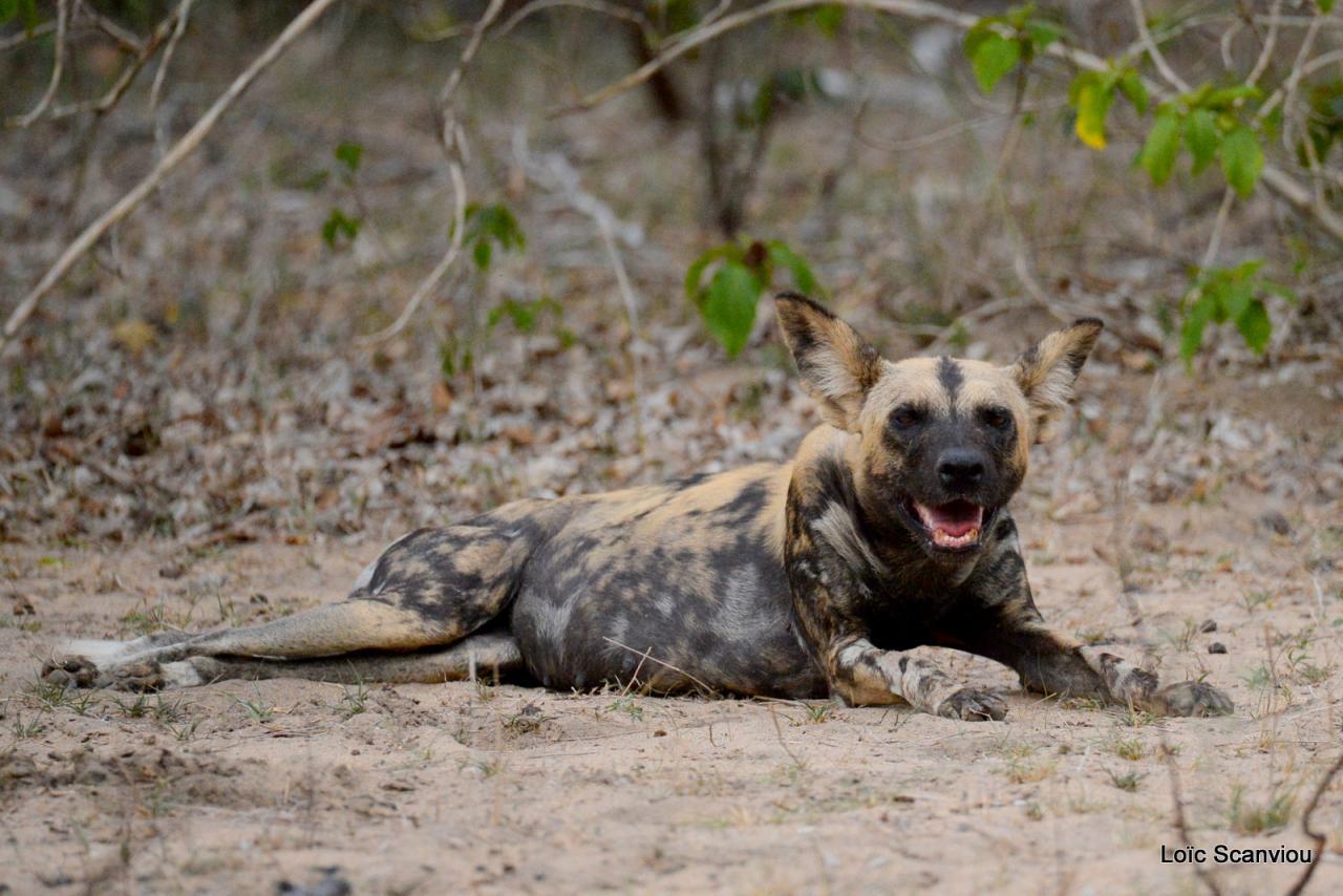 Lycaon/African Wild dog (27)