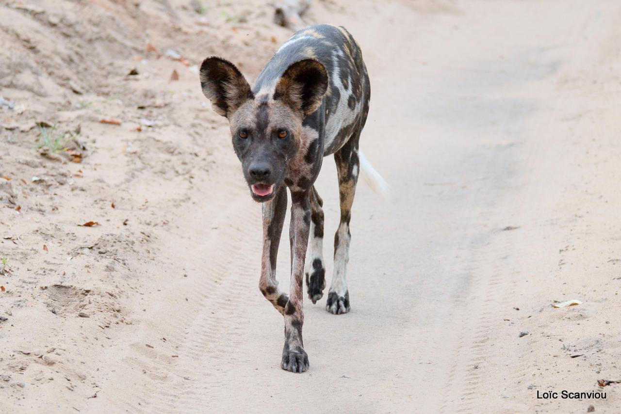 Lycaon/African Wild dog (29)